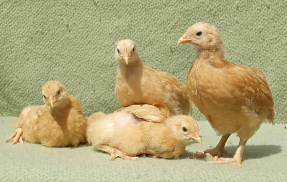 Feeding Programs For Egg Strain Pullets Up To Maturity